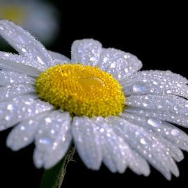 daisy in rain