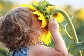 little girl smelling sunflower